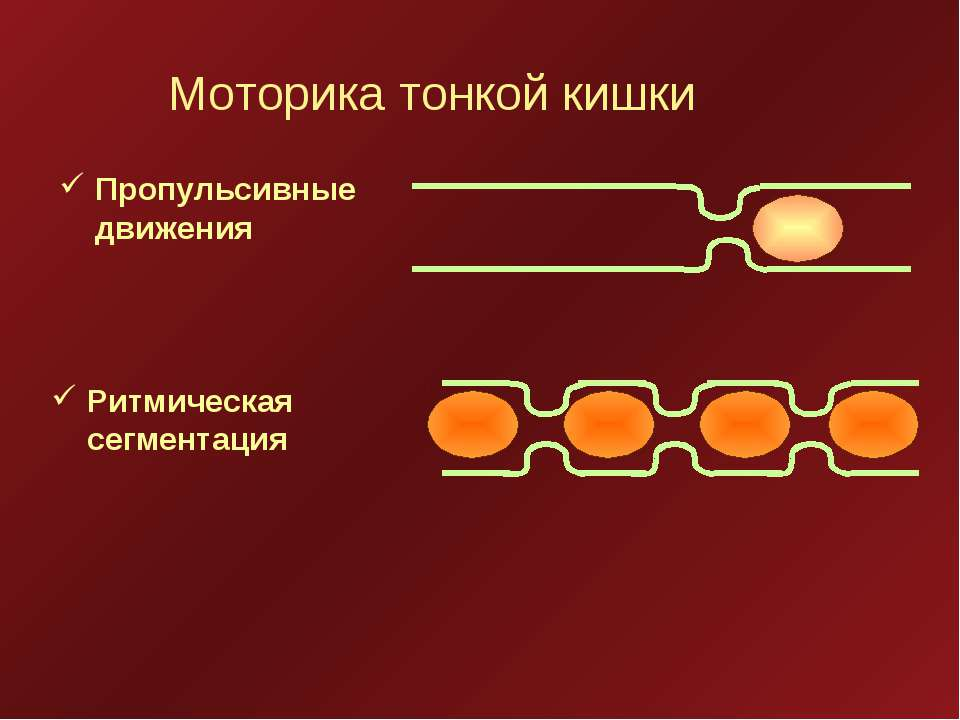 Моторика тонкой кишки Пропульсивные движения Ритмическая сегментация