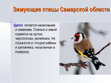 Зимующие птицы Самарской области Щегол питается насекомыми и семенами. Осенью...
