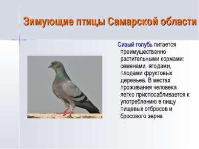Зимующие птицы Самарской области Сизый голубь питается преимущественно растит...