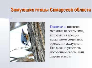 Зимующие птицы Самарской области Поползень питается мелкими насекомыми, котор...