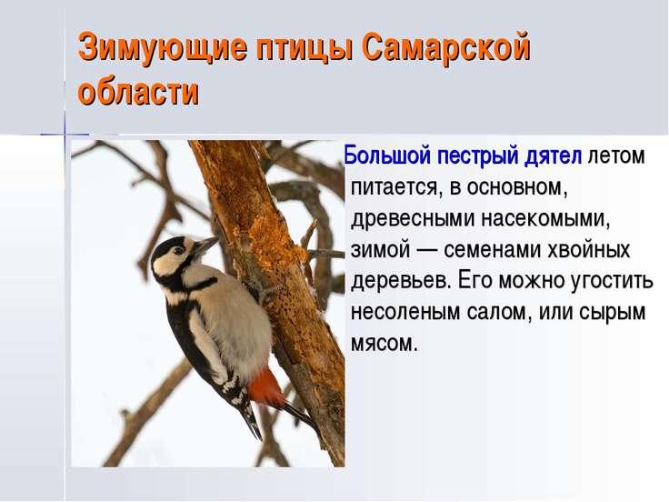 Зимующие птицы Самарской области Большой пестрый дятел летом питается, в осно...
