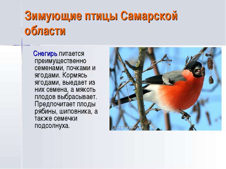 Зимующие птицы Самарской области Снегирь питается преимущественно семенами, п...