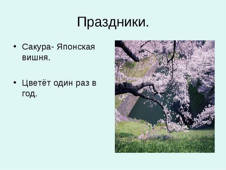 Праздники. Сакура- Японская вишня. Цветёт один раз в год.