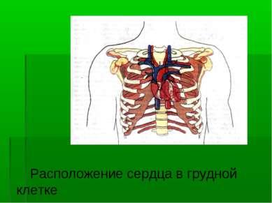 Расположение сердца в грудной клетке