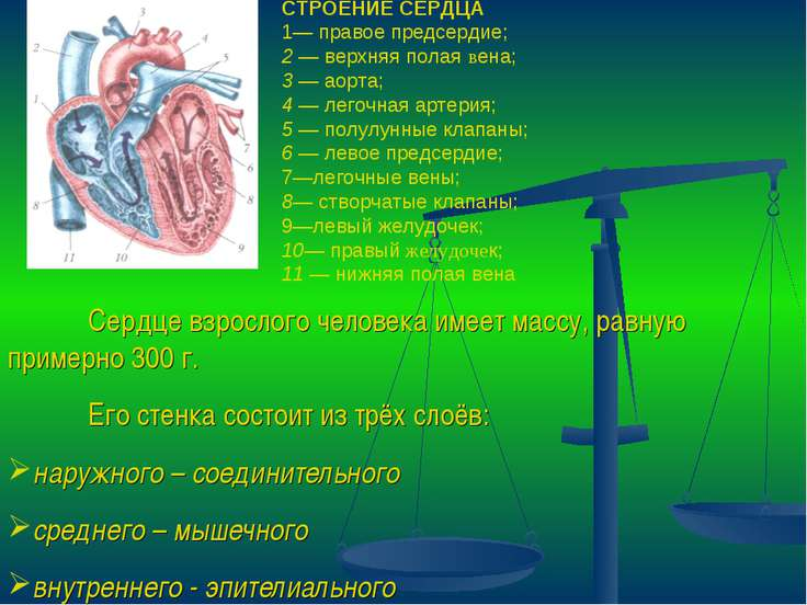 Сердце взрослого человека имеет массу, равную примерно 300 г. Его стенка сост...