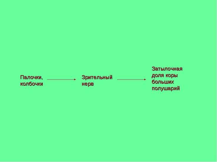 Палочки, колбочки Зрительный нерв Затылочная доля коры больших полушарий