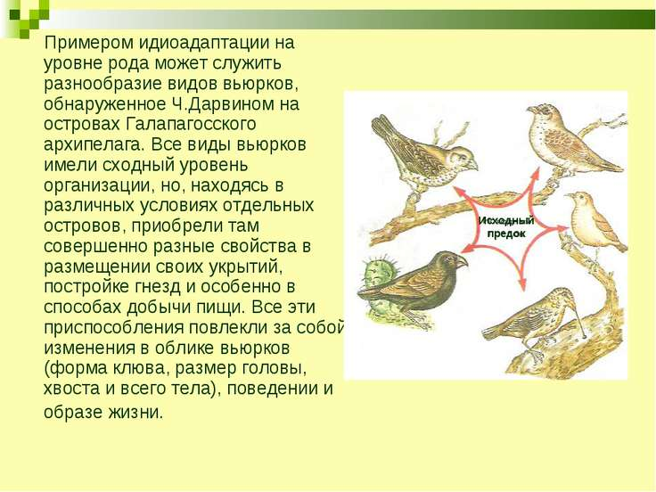 Примером идиоадаптации на уровне рода может служить разнообразие видов вьюрко...