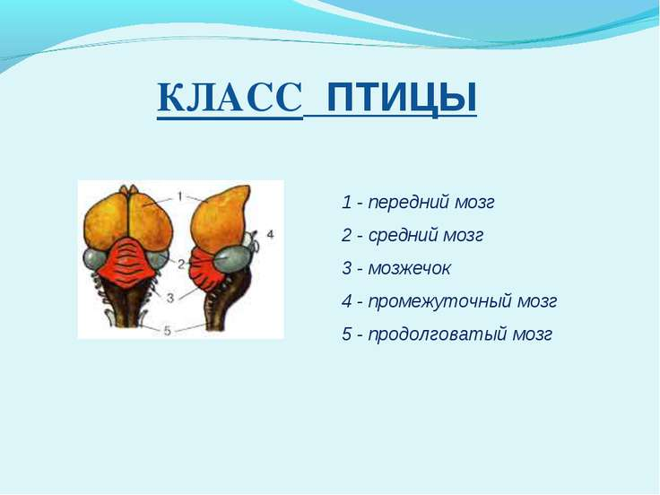 КЛАСС ПТИЦЫ 1 - передний мозг 2 - средний мозг 3 - мозжечок 4 - промежуточный...