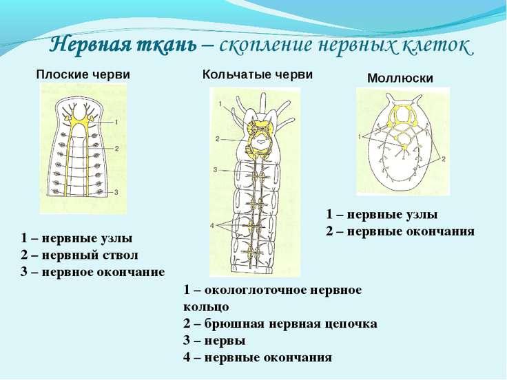 Плоские черви Кольчатые черви Моллюски 1 – нервные узлы 2 – нервный ствол 3 –...