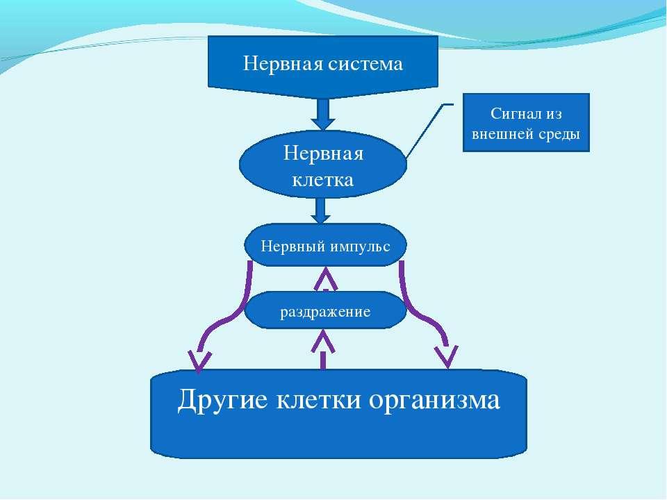 Другие клетки организма Нервная система Нервная клетка Сигнал из внешней сред...