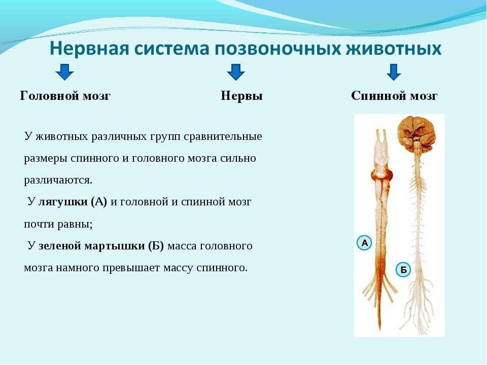 Головной мозг Нервы Спинной мозг У животных различных групп сравнительные раз...