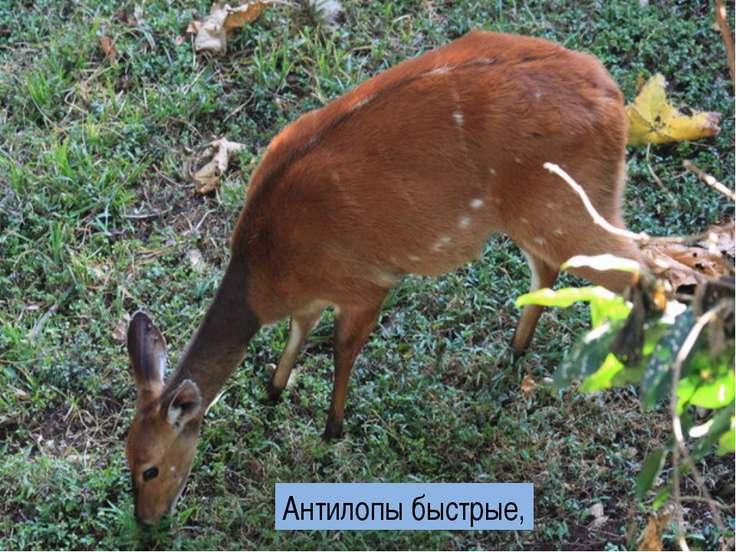 Антилопы быстрые,
