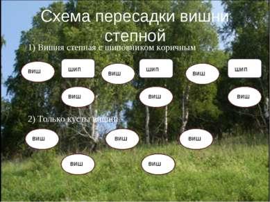 Схема пересадки вишни степной 1) Вишня степная с шиповником коричным 2) Тольк...