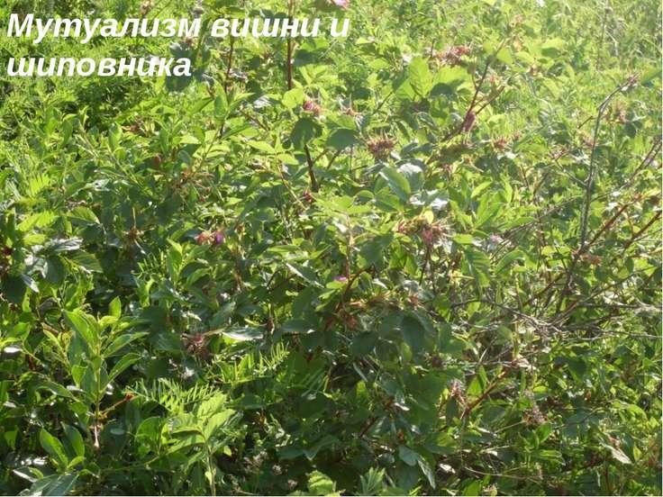 Мутуализм вишни и шиповника
