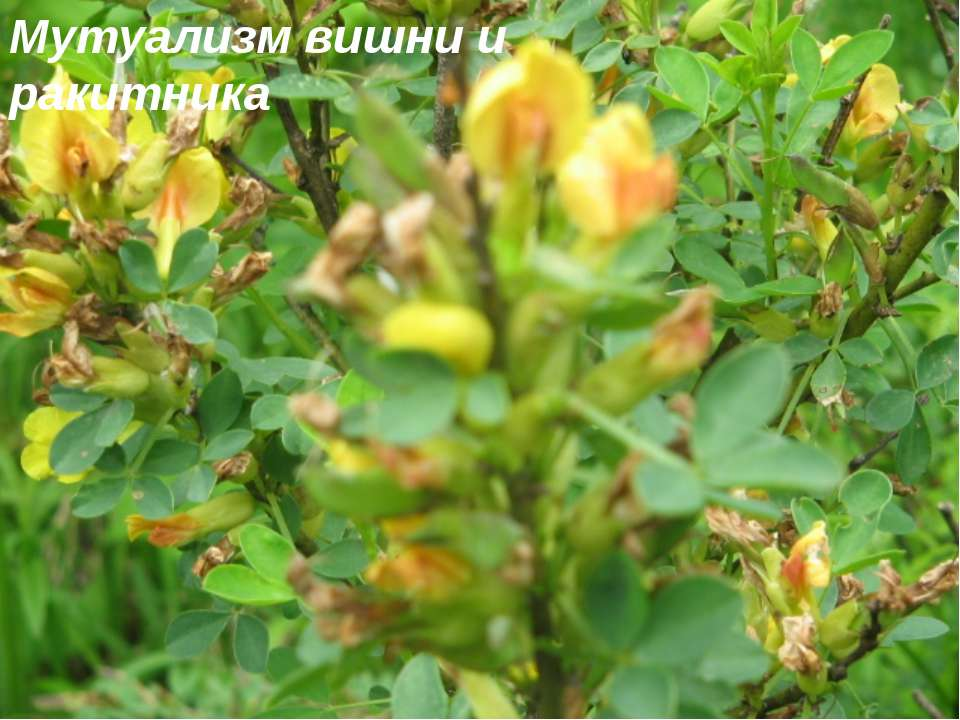Мутуализм вишни и ракитника