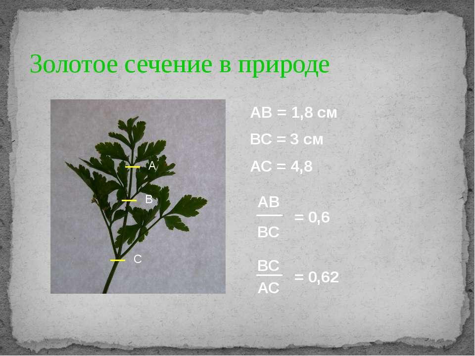 Золотое сечение в природе А В С АВ = 1,8 см ВС = 3 см АС = 4,8 АВ ВС = 0,6 ВС...