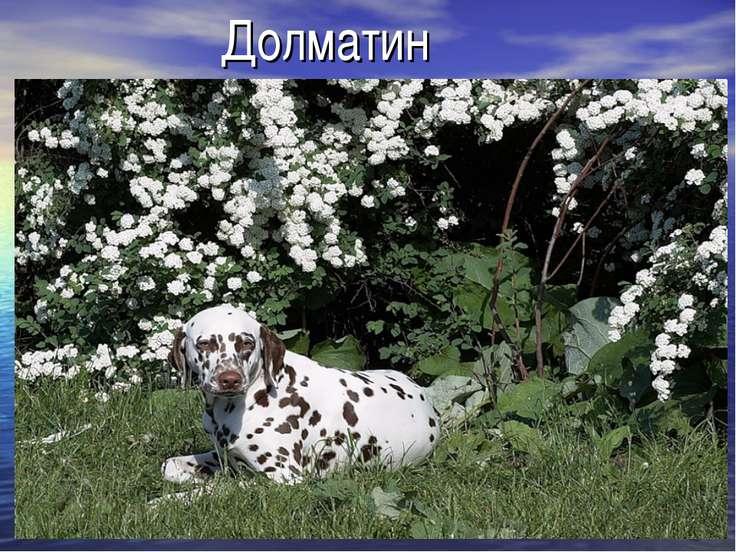 Долматин