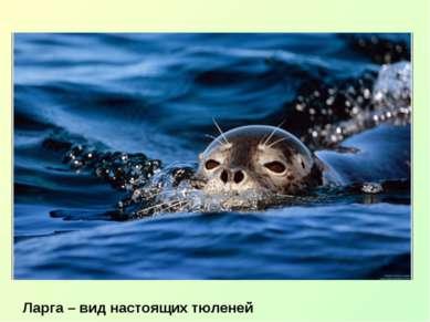 Ларга – вид настоящих тюленей