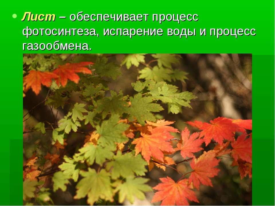 Лист – обеспечивает процесс фотосинтеза, испарение воды и процесс газообмена.