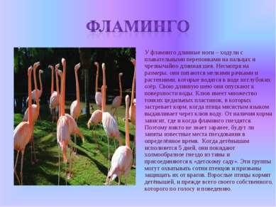 У фламинго длинные ноги – ходули с плавательными перепонками на пальцах и чре...