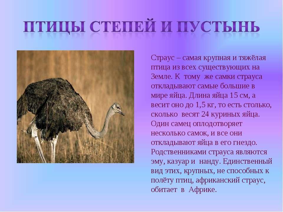 Страус – самая крупная и тяжёлая птица из всех существующих на Земле. К тому ...