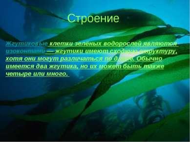 Строение Жгутиковые клетки зелёных водорослей являются изоконтами — жгутики и...