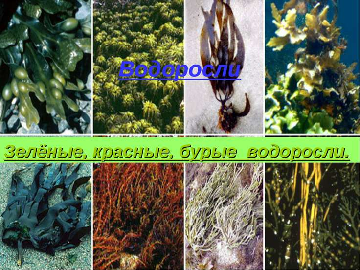 Водоросли Зелёные,красные,бурые Водоросли Зелёные, красные, бурые водоросли.