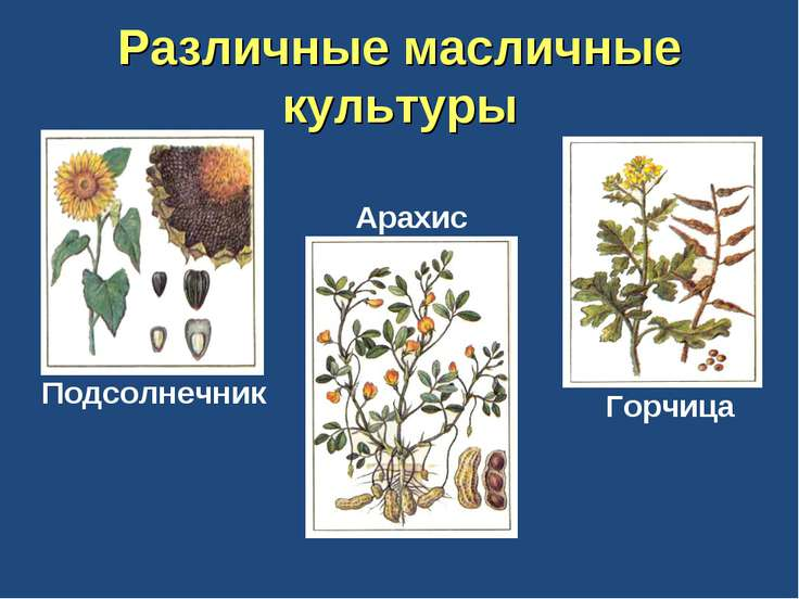 Различные масличные культуры Подсолнечник Арахис Горчица