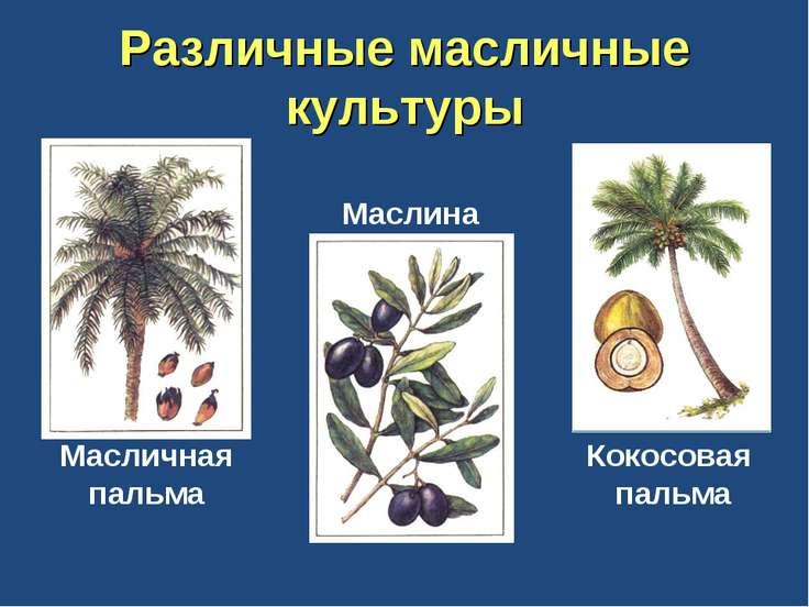 Различные масличные культуры Масличная пальма Маслина Кокосовая пальма
