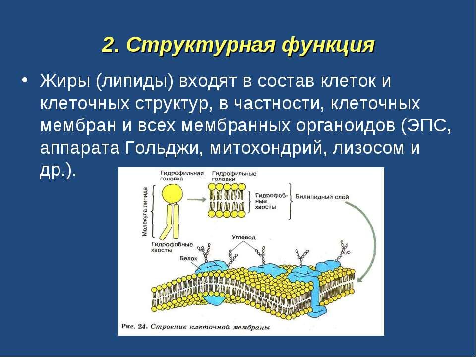 2. Структурная функция Жиры (липиды) входят в состав клеток и клеточных струк...