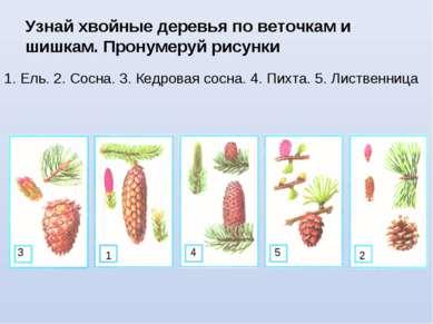 Узнай хвойные деревья по веточкам и шишкам. Пронумеруй рисунки 1. Ель. 2. Сос...