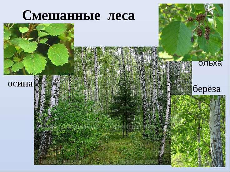 Смешанные леса осина берёза ольха