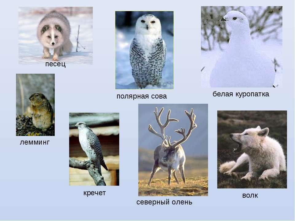 песец полярная сова белая куропатка лемминг северный олень волк кречет