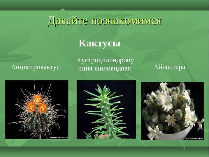 Давайте познакомимся Кактусы Аустроцилиндропунция шиловидная Айлостера Анцист...