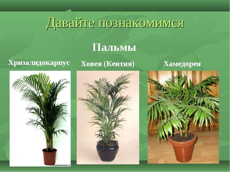 Давайте познакомимся Пальмы Хризалидокарпус Ховея (Кентия) Хамедорея
