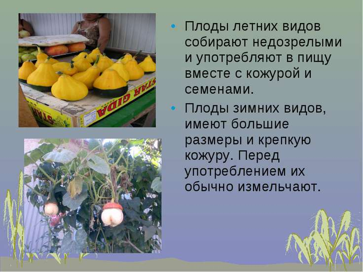 Плоды летних видов собирают недозрелыми и употребляют в пищу вместе с кожурой...