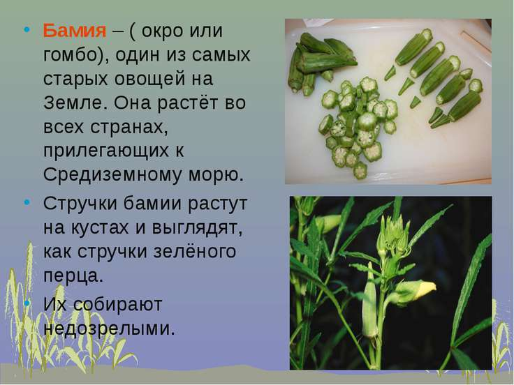 Бамия – ( окро или гомбо), один из самых старых овощей на Земле. Она растёт в...