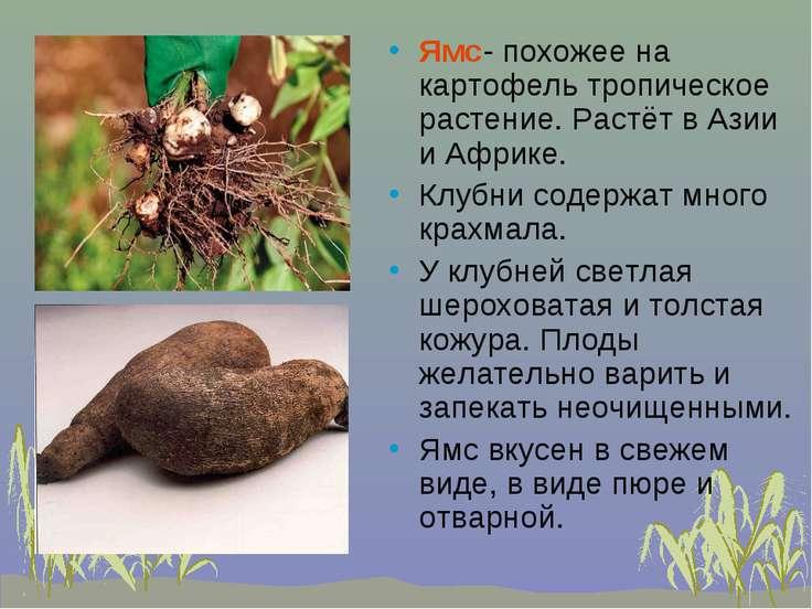 Ямс- похожее на картофель тропическое растение. Растёт в Азии и Африке. Клубн...