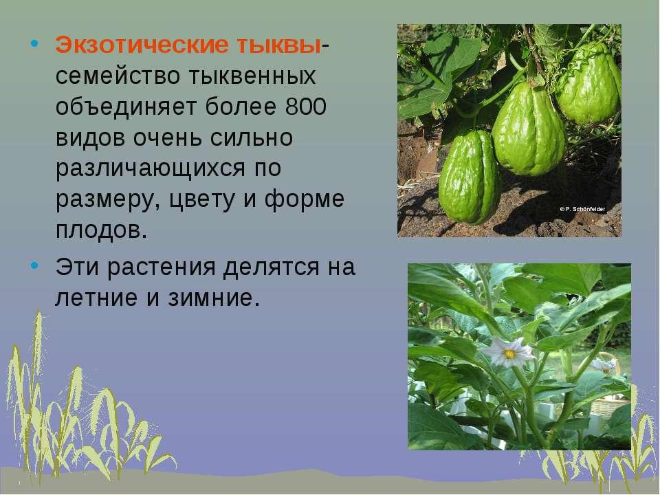 Экзотические тыквы- семейство тыквенных объединяет более 800 видов очень силь...