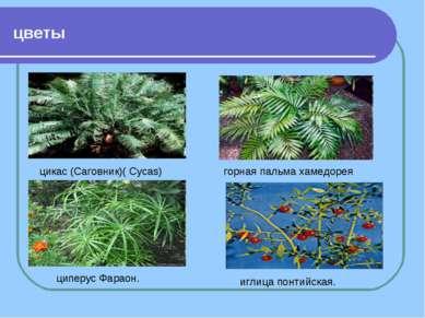 цветы цикас (Саговник)( Cycas) горная пальма хамедорея циперус Фараон. иглица...