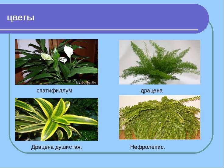 цветы спатифиллум Драцена душистая. Нефролепис. драцена