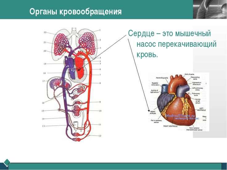 Органы кровообращения Сердце – это мышечный насос перекачивающий кровь. LOGO
