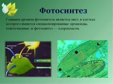 Главным органом фотосинтеза является лист, в клетках которого имеются специал...
