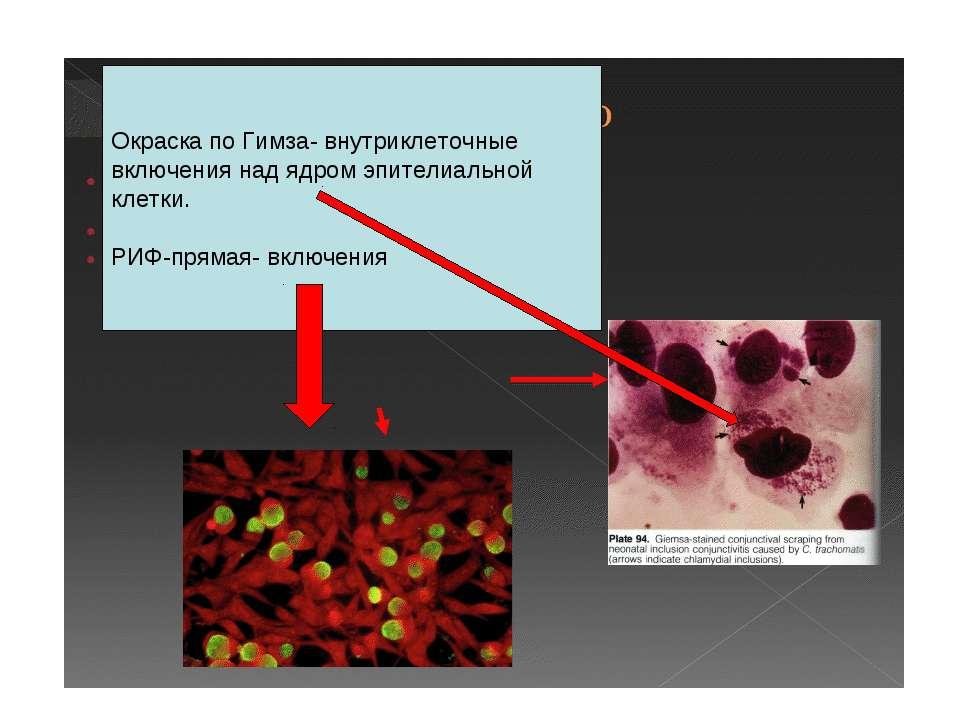 Окраска по Гимза- внутриклеточные включения над ядром эпителиальной клетки. Р...