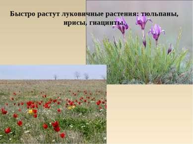 Быстро растут луковичные растения: тюльпаны, ирисы, гиацинты.