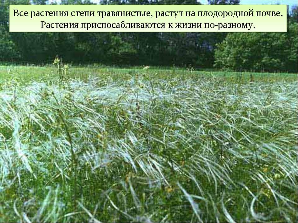 Все растения степи травянистые, растут на плодородной почве. Растения приспос...