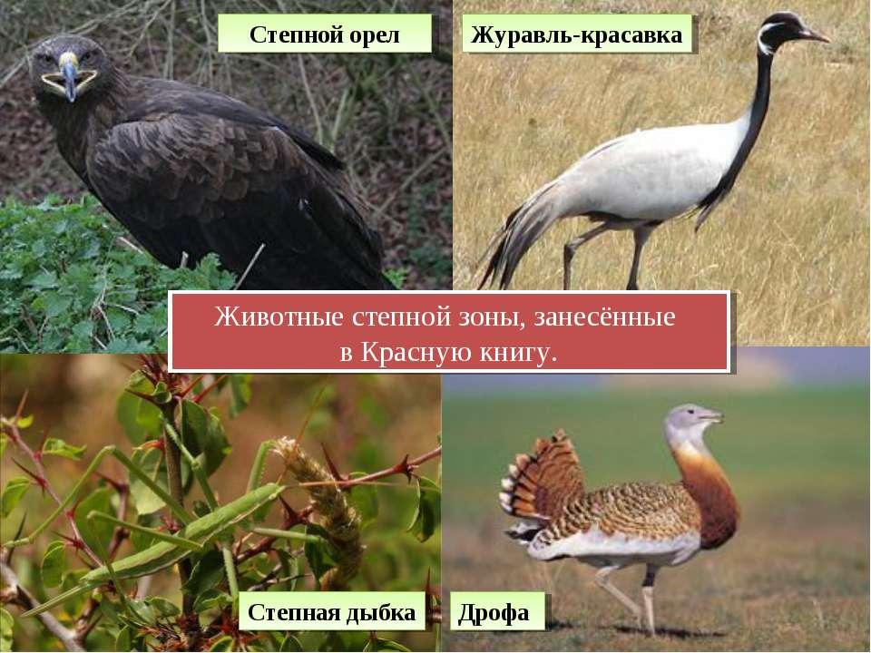 Животные степной зоны, занесённые в Красную книгу. Степной орел Журавль-краса...