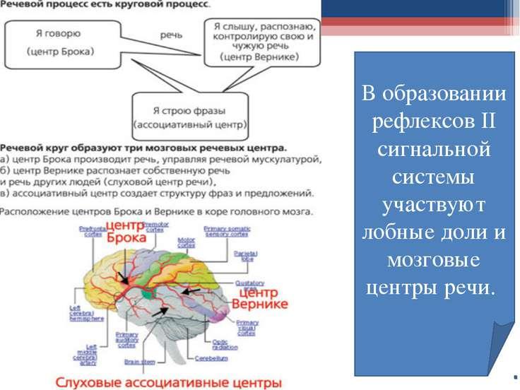В образовании рефлексов II сигнальной системы участвуют лобные доли и мозговы...