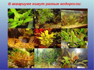 В аквариуме живут разные водоросли: