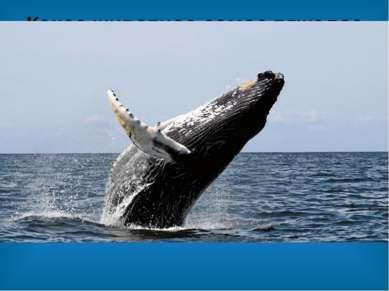 Какое животное самое тяжелое в мире? Самое тяжелое в мире животное — это сини...